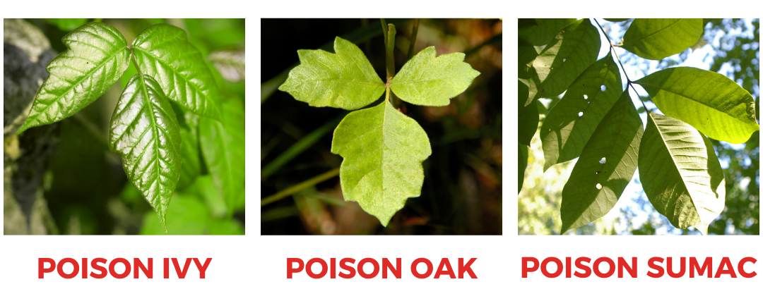 Poison ivy, poison oak, sumac